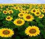 290px-Sunflowers